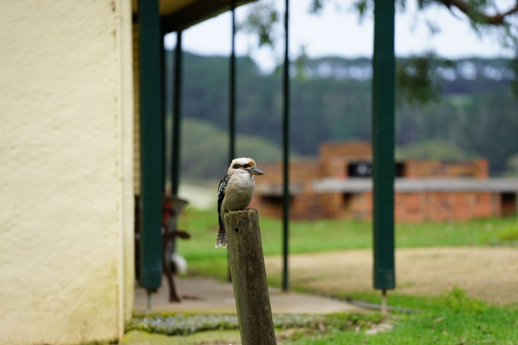 Kookaburra at Glenburn Cottage