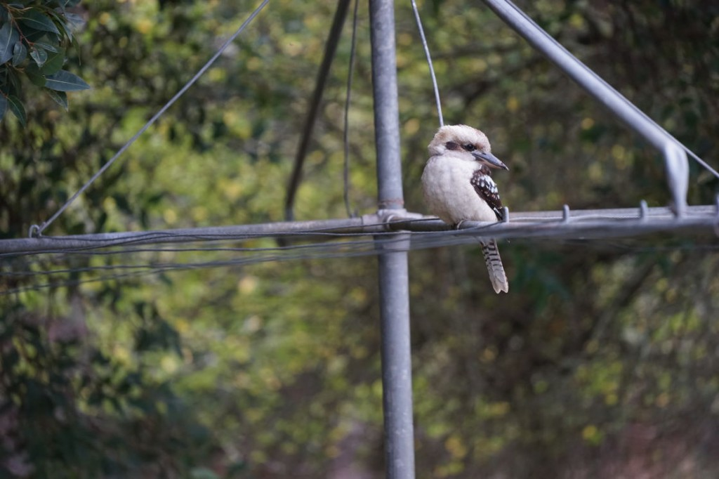 Kookaburra on Hills Hoist at Glenburn Cottage