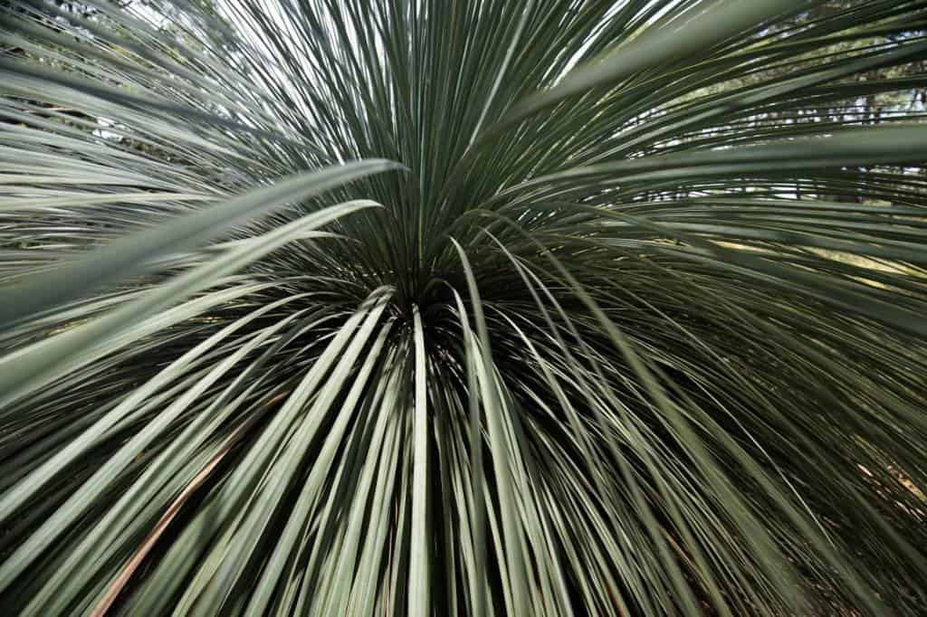 The distinctive leaves of grass trees are captivating