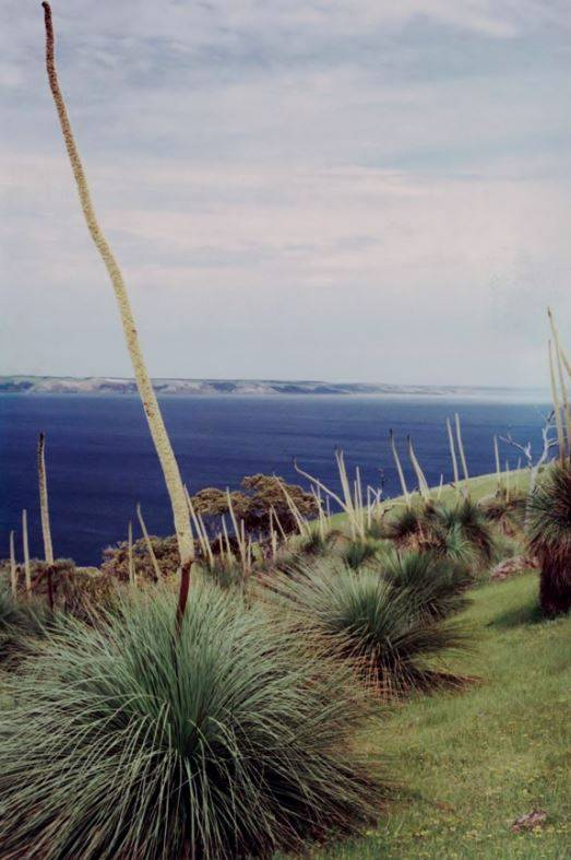 Flowering Yaccas at Cobbler Hill with Kangaroo Island in the background