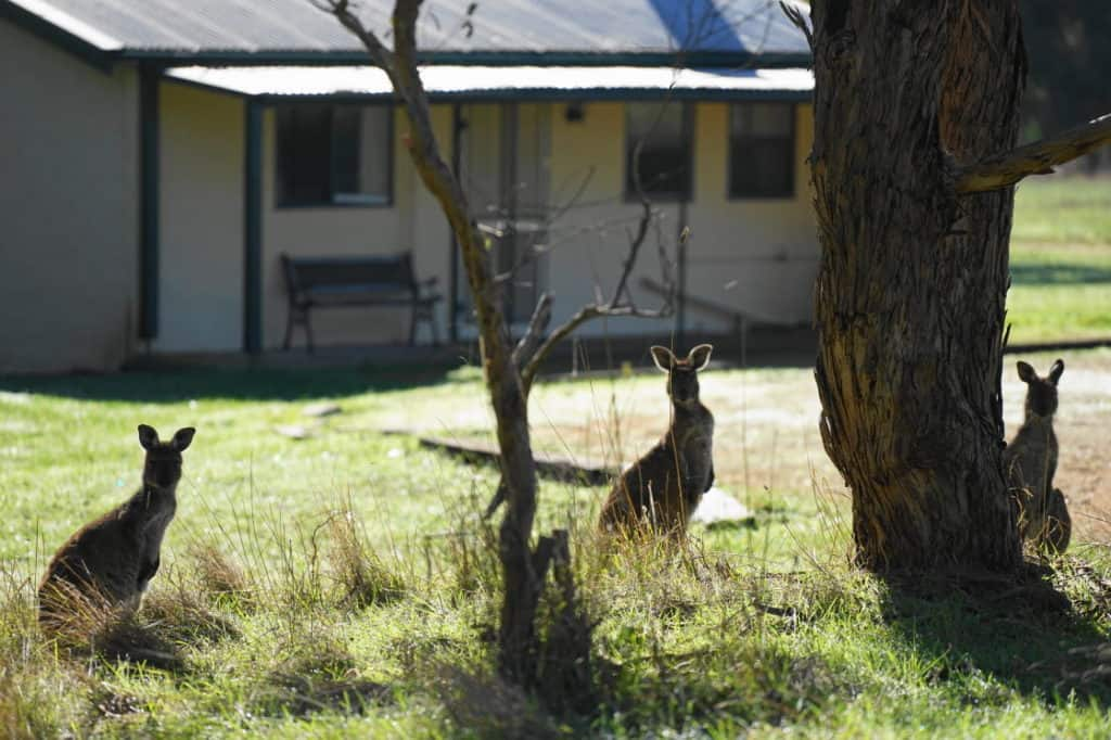 Kangaroos at Glenburn Cottage