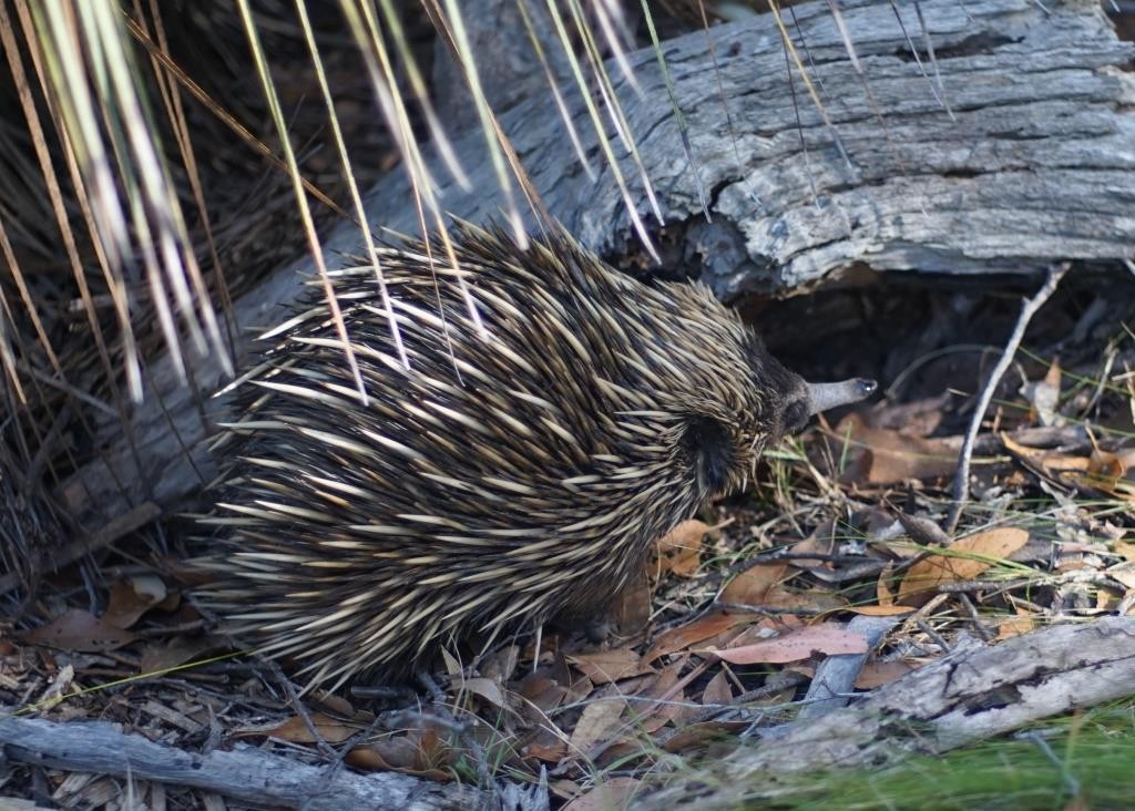 Echidna, Deep Creek Conservation Park