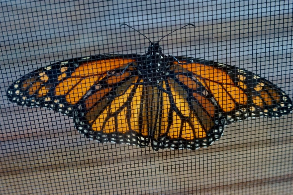 What a transformation! Monarch butterfly