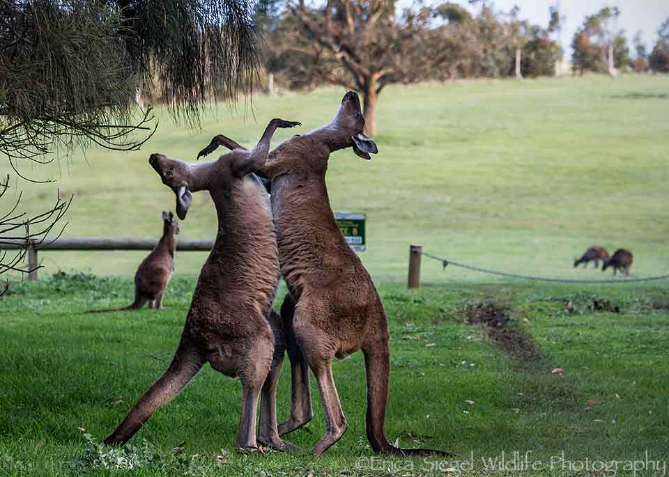 Western Grey Kangaroos getting acquainted in front of Goondooloo Cottage