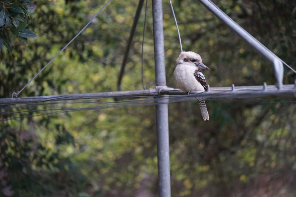 Kookaburra on Hills Hoist at Glenburn Cottage