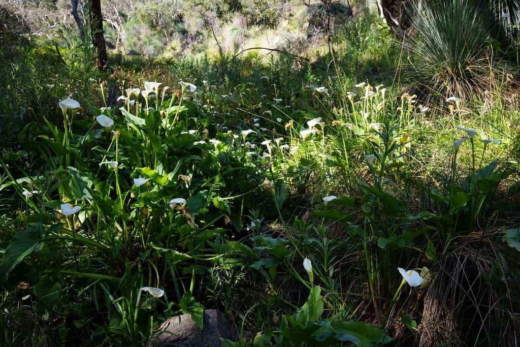 Arum lilies along Aaron Creek