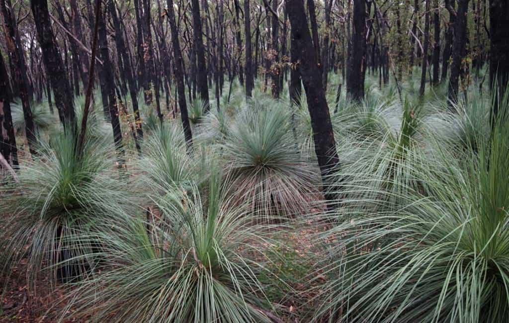 Yaccas in Stringybark Forest