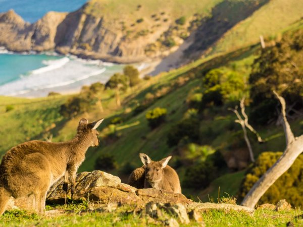 Kangaroos at Blowhole beach Deep Creek